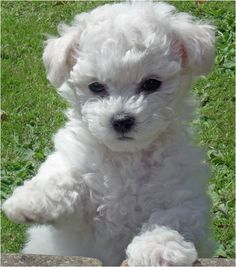 Bichon Frise are pup, pup, pupper loves
