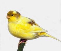 導讀:金絲雀又稱芙蓉鳥。換羽對芙蓉鳥是一個很基本生理過程。這一過程涉及到營養、營養儲備、內分泌、循環系統及皮膚系統等諸多因素。在換羽期間,如果照料不當,芙蓉鳥容易生病,而且還會傷害它美麗的羽毛。以下文章我們一起來了解。