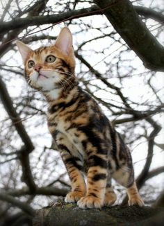 Beautiful Bengal kitten       I wish I wasn't allergic to cats - Spoil your kitty at www.coolcattreehouse.com