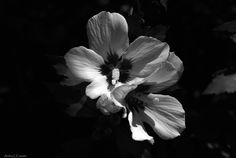 Light, Depth, Perception in Black & White by Andrea Cowart on Capture Memphis // Rose of Sharon in b/w