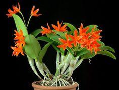 Guarianthe aurantiaca. Tamanho quando adulta: até 40cm. Tamanho da flor: 6cm. Quantidade de flores: até 12. Origem: do México à Nicarágua. Habitat: epífita, ocasionalmente rupícola, em matas tropicais abertas e escarpas rochosas. Altitude: 300 a 1.600 metros. Características distintivas: normalmente fáceis de distinguir pela coloração, ocasionalmente a Cattleya x guatemalensis, híbrido natural da Guarianthe aurantiaca com a Guarianthe skinneri pode assemelhar-se muito com qualquer um dos…