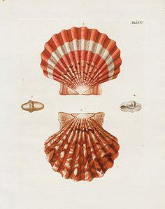 George Wolfgang Knorr Seashell Prints 1757