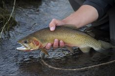 native cutthroat trout, montana cutthroat, record size cutthroat, montana wild fly fishing