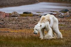 An emaciated polar bear struggles to move across the tundra on Somerset Island, in the Canadian Arctic, in July.