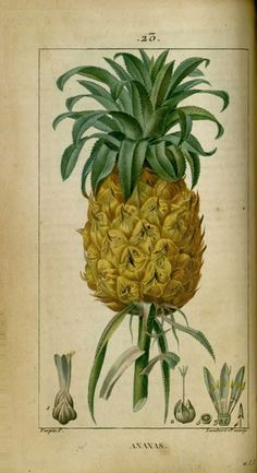 img/dessins-gravures de plantes medicinales/ananas, ananas a couronne.jpg