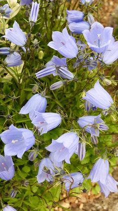 Campanula cochlearifolia 'Blue Baby'...♥♥