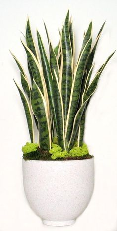 """FL1293 Variagated Sanseveria in White Speckle Container 31""""H x10""""W x10""""D $499 Retail Mother In Law Tongue, Christmas Cactus, Snake Plant, Vivienne, Indoor Plants, Succulents, Planter Pots, Floral Design, Container"""