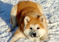 If someone was to magically show up at my door with an Akita for me I think I would fall into a million pieces!!! I WANT ONE SOOO BADLY