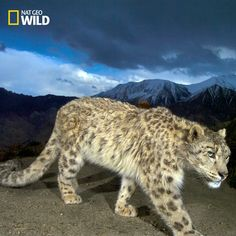 Snow Leopards are often found in very remote locations so they need to find ways to keep warm, this includes a fluffy tail. Source: https://www.facebook.com/natgeowild/posts/10153699487745930:0