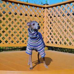 Italian Greyhound, Greyhounds, Whippets, Dogs, Leo, Animals, Shirts, Dog Clothing, Animales