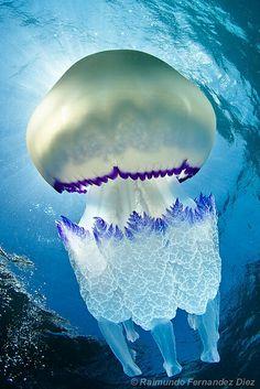 Rhizostoma pulmo The Barrell Jellyfish (Rhizostoma Pulmo) is commonly found in the Irish Se. Rhizostoma pulmo The Barrell Jellyfish (Rhizostoma Pulmo) is commonly found in the Irish Sea. Measuring up to in diameter, it is the largest jellyfish foun Underwater Creatures, Underwater Life, Beautiful Creatures, Animals Beautiful, Stunningly Beautiful, Beautiful Gorgeous, Fauna Marina, Wale, Deep Blue Sea