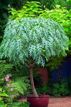 Linda Cochran's Garden: Cussonia paniculata
