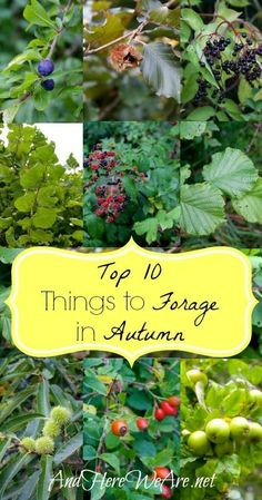 Top 10 Things to Forage in Autumn | And Here We Are... It's a great time of year to get out and find some wonderful wild foods! All of these are really easy to identify, and grow throughout Europe and North America.