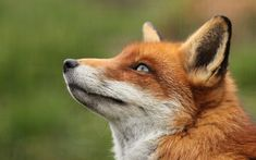 Foxes, Red fox and Fox face on Pinterest