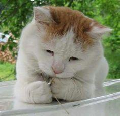 食べちゃった?Okay, I got it! Kittens Cutest, Cats And Kittens, Cute Cats, Funny Cats, Animals And Pets, Funny Animals, Cute Animals, Cat Whisperer, F2 Savannah Cat