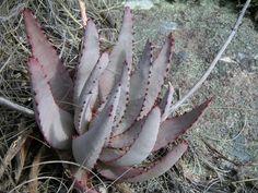 Aloe conifera.