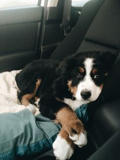 Lover of road trips @barkley.the.berner the Bernese mountain dog Cute Dogs Breeds, Dog Breeds, Burmese Mountain Dogs, Animals And Pets, Cute Animals, Animals Beautiful, Baby Animals, Bernese Puppy, Bernese Mountain Dog Poodle