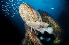 Diving off the coast of Florida at 95 feet deep, a Goliath Grouper emerges from a shipwreck, with two others looking out of a large opening in the hull of the sunken cargo ship. These gentle giants can weigh over 500 pounds, dwarfing any diver that swims near them.