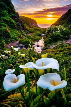 Calla Lily Sunset, Big Sur, Cali - by Greg Clure Photography Beautiful Nature Pictures, Beautiful Sunset, Nature Photos, Amazing Nature, Beautiful Landscapes, Beautiful World, Beautiful Flowers, Beautiful Places, Landscape Photography