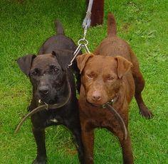 Patterdale Terrier 25 to 40 cm Terrier Breeds, Terrier Dogs, Dog Breeds, Patterdale Terrier, Lakeland Terrier, Real Dog, Rhodesian Ridgeback, Cane Corso, Dog Boarding