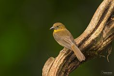 red-throated ant tanager by Christian Sanchez on 500px