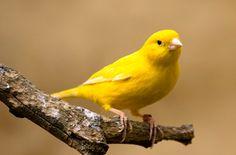 No es extraño pasear por cualquier vecindario y escuchar el canto de estos simpáticos pájaros que parecen saludarnos ...
