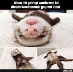 Cute Funny Animals, Funny Cute, Hilarious, Funny Memes, Funny Stuff, Funny Ferrets, Pet Ferret, Animal Memes, Animals
