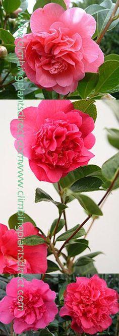 Camellia - evergreen climber