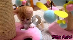 Beautiful Baby Orange Kitten Melts Hearts , This is the sweetest thing you'll see today