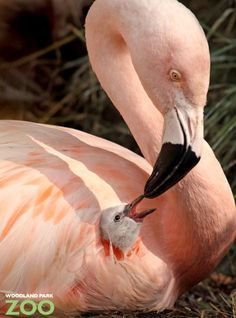 Flamingo mom and baby