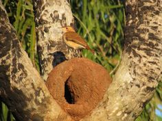 """They are monogamous and the pair bond is long term, sometimes for life. The nest of the Rufous Hornero is typical for the genus : a large thick clay """"oven"""" placed on a tree. Pairs remain together throughout the year and will work on the nest during that time . Nests can be constructed in as little as 5 days but usually take longer, occasionally months, to complete. Photo : João de barro Nest Building, Clay Oven, Bird Nests, Bb, Birds, Nature, Life, Beautiful Birds, Antiquities"""