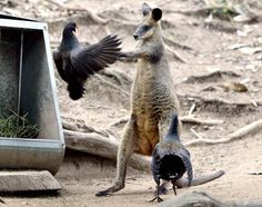 Dusky moorhens show strength in numbers as they attack a swamp wallaby on the Gold Coast, Australia.