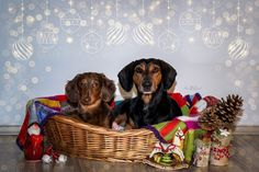#christmas #photoshooting #dogs #puppy #dachshund #edit #editing #photography #photographer #annikavallant #editorial #photoshop #dogphotography #christmaslights Christmas Dog, Christmas Lights, Dog Photography, Dachshund, Editorial, Photoshop, Puppies, Photo And Video, Dogs