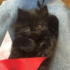 #dancing #kitten #red #ribbon #black #cat #kittensfarm Black Kittens, Red Ribbon, Dancing, Photo And Video, Cats, Animals, Instagram, Gatos, Dance