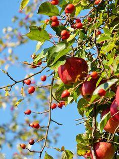 birdsartnature:  Apples and rose hips ~ Äpfel und...
