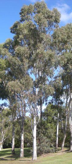 Forest Redgum Eucalyptus tereticornis