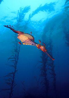 Weedy Sea Dragon with Giant Kelp - Tasmania, Australia - David Hall Underwater Photography, Wildlife Photography, Weedy Sea Dragon, Rio, Beautiful Sea Creatures, Underwater Sea, Animals Amazing, Marine Fish, Australian Animals