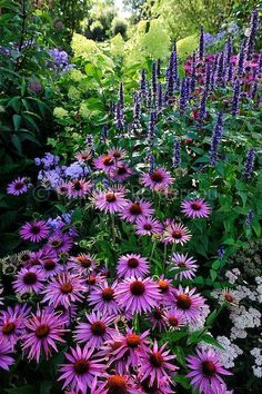 Echinacea purpurea After Midnight, Agastache Blackadder