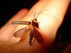 lightning bug by pookpie15, via Flickr