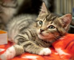 Cash is available for adoption in Northern Virginia, USA, through HART Kitten a Day for Summer number 12, June 28, 2011 Amazing! Check out this: http://legitwaysmakemone...
