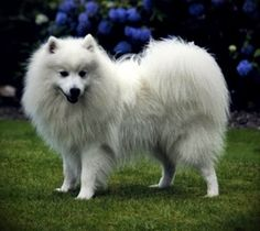 Three short coincidence stories - one featuring a Spitz dog. #coincidence #coincidencestory