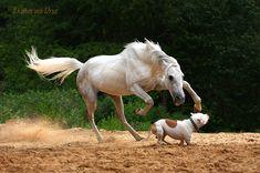 Tersk stallion Samshit