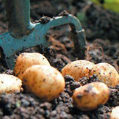 How to Grow Potatoes Fruit Garden, Vegetable Garden, Organic Gardening, Gardening Tips, Fresco, Grandmas Garden, Container Gardening Vegetables, Farm Gardens, Growing Vegetables