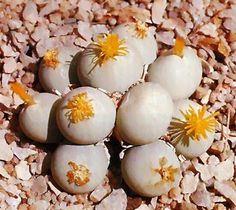 Conophytum Calculus 20 semillas,seeds cactus,plantas,suculentas,crasas | eBay