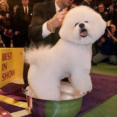 """""""JR"""" the Bichon Frise winning Best in Show at Westminster Kennel Club in 2001"""