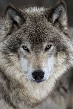 "Wolf (Gray wolf) also known as the "" timber wolf "" or "" western wolf "" - Loup gris également connu comme "" le loup des bois "" ou "" loup occidental "". En France on l'appel "" loup gris "" ou "" loup commun "" (common wolf). Wolf Images, Wolf Photos, Wolf Pictures, Wolf Love, Wolf Tattoos, Beautiful Wolves, Animals Beautiful, Tier Wolf, Wolf Photography"