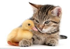 Stanley the kitten with a duckling