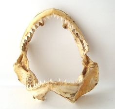 vintage shark jaw taxidermy taxidermied bone by RecycleBuyVintage