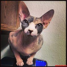 My Friends Sphynx. - http://cutecatshq.com/cats/my-friends-sphynx/