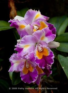 In the past year, I've had the chance to photograph some spectacular cattleya orchids. I was looking back through some of my unedited photos and found several photos of various cattleya orchi… Beautiful Flowers Pictures, Unusual Flowers, Flower Pictures, Amazing Flowers, Pretty Flowers, Pink Flowers, Yellow Roses, Blooming Flowers, Orquideas Cymbidium